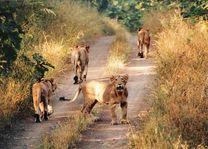 leeuwen in het Sasan Gir National Park - Sasan Gir NP - India - foto: archief