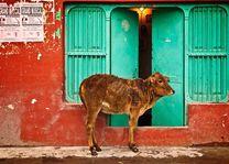 Koe bij de deur - India - foto: archief