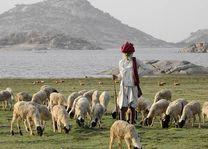 schapenherder op platteland bij Bera Jawai - Bera - India - foto: Castle Bera