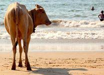 staande koe op het strand van Goa - Goa - India - foto: Archief