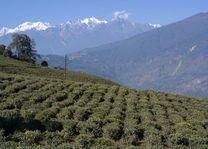 theevelden en besneeuwde bergtoppen - Sikkim - India - foto: Mieke Arendsen
