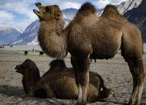Bactrische kamelen in de Nubravallei - Nubravallei - India - foto: Ashfaq Rah