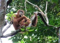 Indonesie - Kalimantan - Orang Utang
