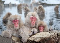 Snow monkeys - Japan - foto: lokale agent