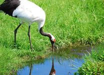 kraanvogel in Kushiro marshland - Kushiro - Japan - foto: Lokale agent