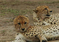 cheetah - Masai Mara - Kenia