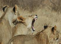 leeuwen - Samburu - Kenia