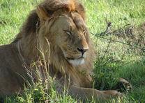 leeuw - Kenia - foto: Martijn Visscher