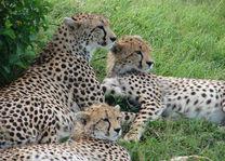 cheeta's - Kenia - foto: Martijn Visscher