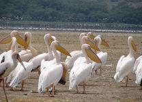 pelikanen - Lake Nakuru - Kenia - foto: Martijn Visscher