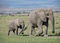 Olifanten - Amboseli - Kenia - foto: Martijn Visscher