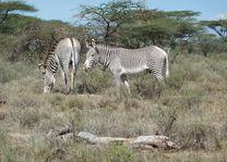 Grevy zebra dichtbij - Samburu - Kenia