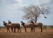 zebra's - Tsavo East - Kenia