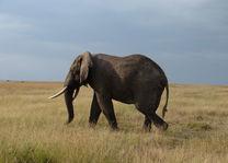 olifant - Masai Mara - Kenia