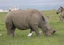 neushoorn - nakuru - Kenia