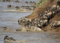 gnoe river crossing - masai mara - Kenia - foto: Martijn Visscher