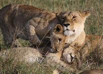 leeuwen - masai mara - Kenia - foto: Martijn Visscher