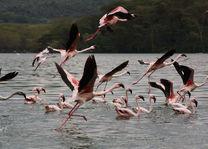flamingo's - lake naivasha - Kenia - foto: Martijn Visscher