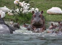 nijlpaarden - lake naivasha - Kenia - foto: Martijn Visscher