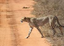 cheetah - tsavo East - Kenia