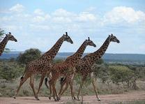 giraffes - masai mara - Kenia - foto: Martijn Visscher