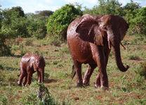 olifanten - Tsavo East - Kenia