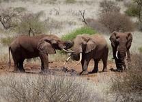 Olifanten - Amboseli - Kenia - foto: Satao Elerai