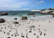 kolonie pinguins Boulders Beach - Kaapstad - Zuid-Afrika