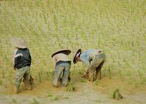 Laos - Champasak - in de rijstvelden