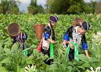 Hmong vrouwen oogsten tabak in traditionele kleding - Laos