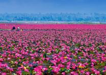 lotusmeer bij Udon Thani - Thailand - copyright: TAT - foto: TAT