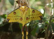 vlinder - Madagaskar