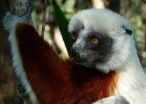 sifaka close-up - Andasibe - Madagaskar