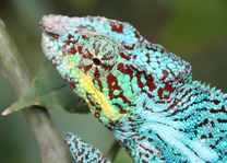 Blauwe Kameleon - Pereyras Reserve - Pereyras Reserve - Madagaskar - foto: Martijn Visscher