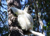 Lemuur Zombitse National Park - Zombitse National Park - Madagaskar - foto: Martijn Visscher