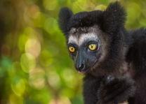 Indri lemur 1 - Madagaskar - foto: archief