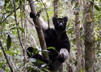 Indri lemur - Madagaskar - foto: archief