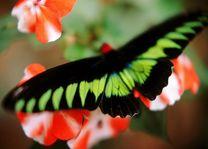 vlinder - Cameron Highlands - Maleisië