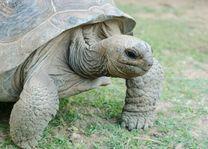 Schildpad, Rodrigues - Rodrigues - Mauritius - foto: Archief