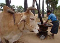 os bij boer - Myanmar