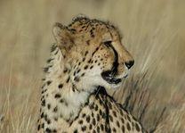 cheetah farm - Otjitotongwe Cheetah Park - Namibië