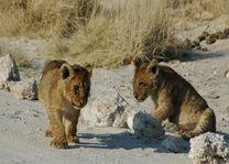jonge leeuwen - Etosha National Park - Namibië