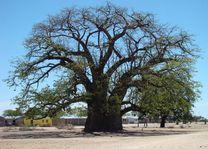immense Baobab - Namibië - foto: Berry ter Horst