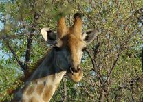 giraffe - Etosha - Namibië - foto: Berry ter Horst
