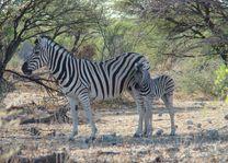 zebra met jong - Etosha - Namibië - foto: Berry ter Horst