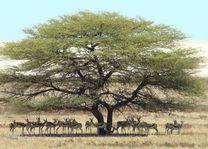 springbok onder boom - Etosha - Namibië - foto: Berry ter Horst