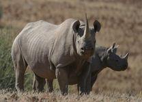 Damaraland neushoorns - Damaraland - Namibië - foto: Agent