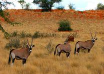 Gemsbokken in de Kalahari Desert - Kalahari Desert - Namibië - foto: Agent
