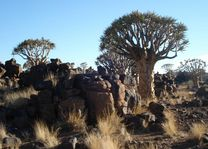 Quivertree Forest - Namibië - foto: Agent