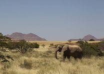 olifant  Damaraland - Damaraland - Namibië - foto: lokaal agent